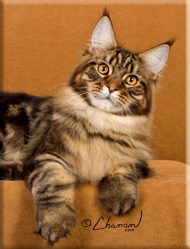 Home | Stormytown Maine Coons